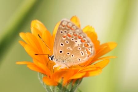 Kleiner Sonnenröschen-Bläuling: Schmetterling trotzt Klimawandel