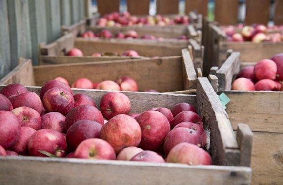 Wissen kompakt: So lagern Sie Äpfel richtig