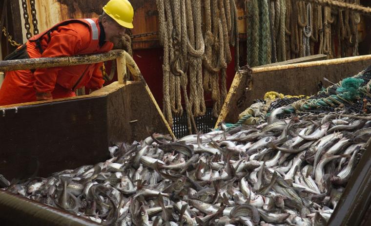 Laut MSC wird Alaska-Seelachs nachhaltig gefangen und ist entsprechend zertifiziert