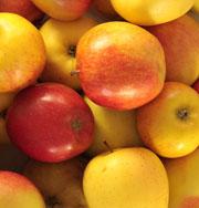 Rubinette – Äpfel, feinsäuerlich unter Sortenschutz