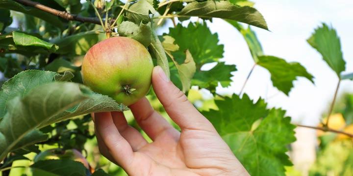 Bei Apfelallergien: Probieren Sie alte Apfelsorten