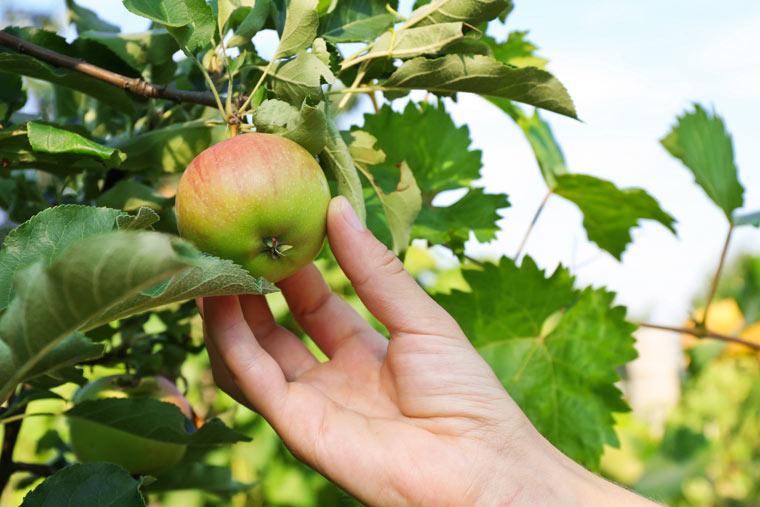 Alte Apfelsorten - gesünder und allergiefrei