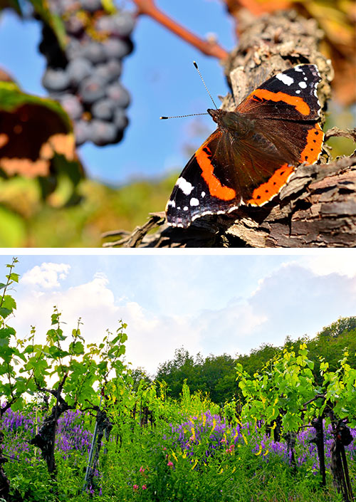 Bio-Weinanbau