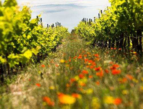 Biodiversität im Weinanbau