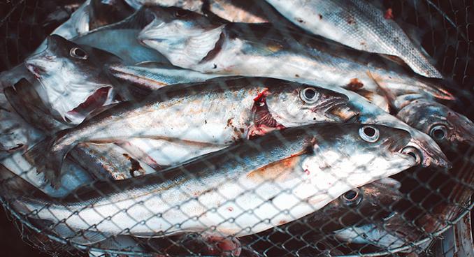 Bio Fisch gesünder