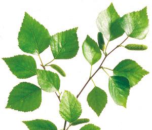 Entschlacken mit Pflanzensäften Birkenblätter