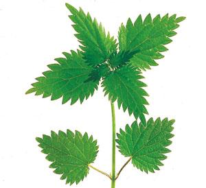 Entschlacken mit Pflanzensäften Brennessel