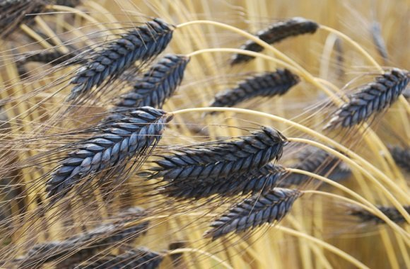 Studie der Uni Hohenheim beweist: Emmer Getreide im Anbau gleichwertig mit Dinkel