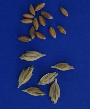 Kleines Korn ganz groß. © T. Miedaner