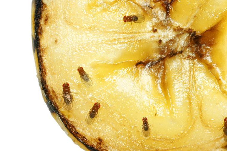 Fruchtfliegen: So werden sie natürlich und effektiv bekämpft