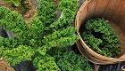 Grünkohl von Mai bis Juli säen oder pflanzen: Erntefreuden im Winter
