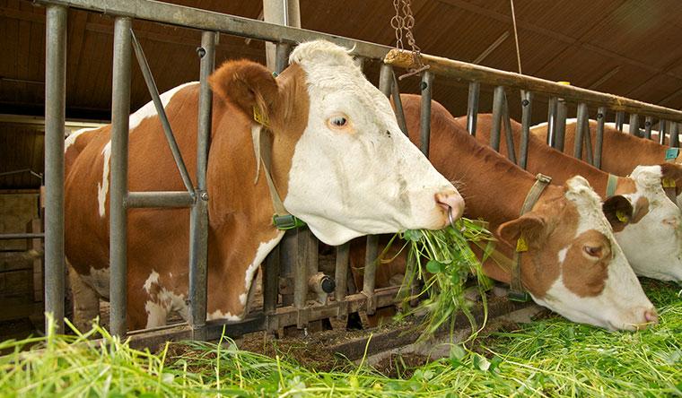 Hornlose Kühe in der Milchproduktion