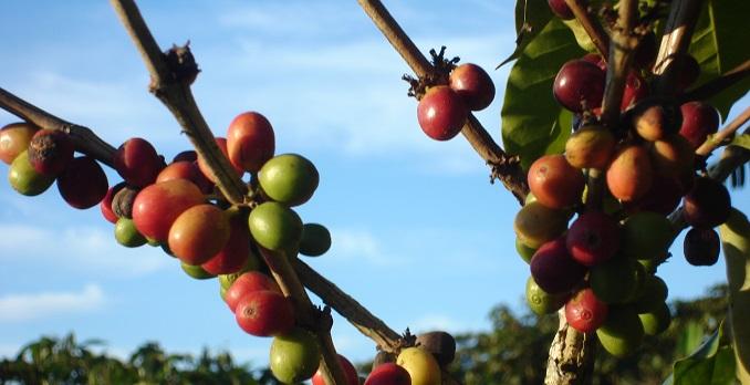 Kaffee fair am Baum