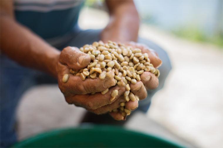 Bei der nassen Verarbeitungsmethode werden die Kaffeekirschen gleich zu Beginn vom Fruchtfleisch befreit und dann gewässert.
