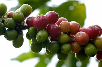 Unscheinbar sehen die Kaffeebohnen im Urzustand aus © Murnauer Kaffeerösterei