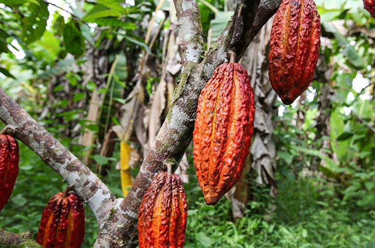 Baum mit Kakaobohnen in Peru.