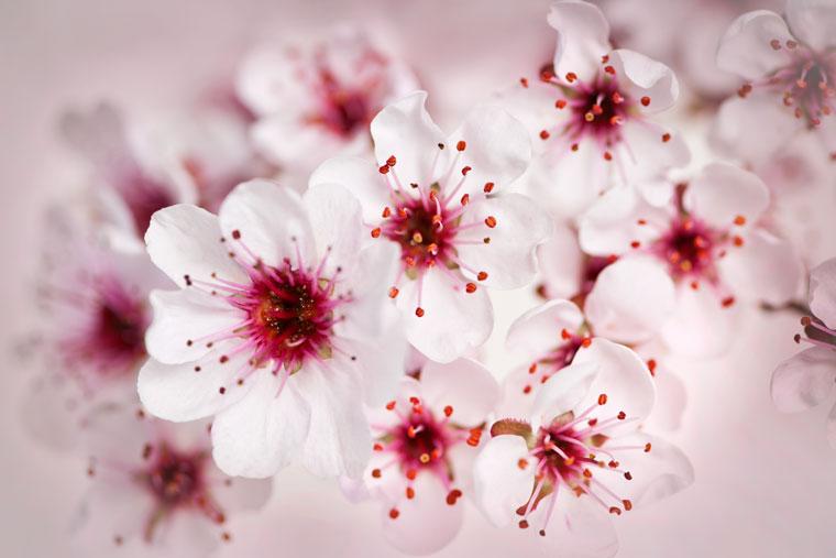 Smoothie mit Kirschblüten