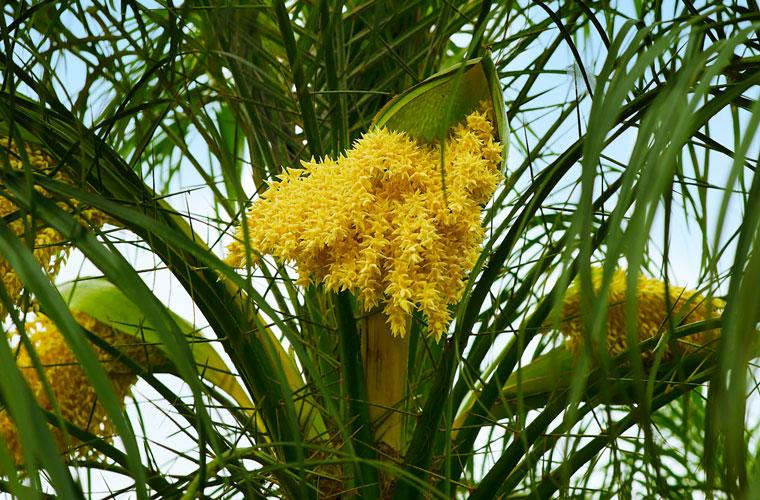 Kokospalmblüte
