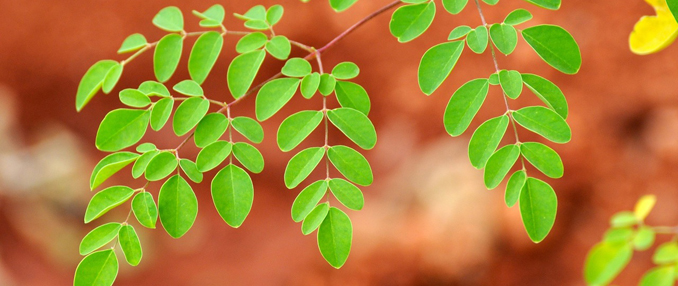 Moringa gesund Eiweiß kein Soja
