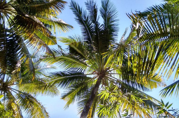Kokospalmen als Zuckerspender