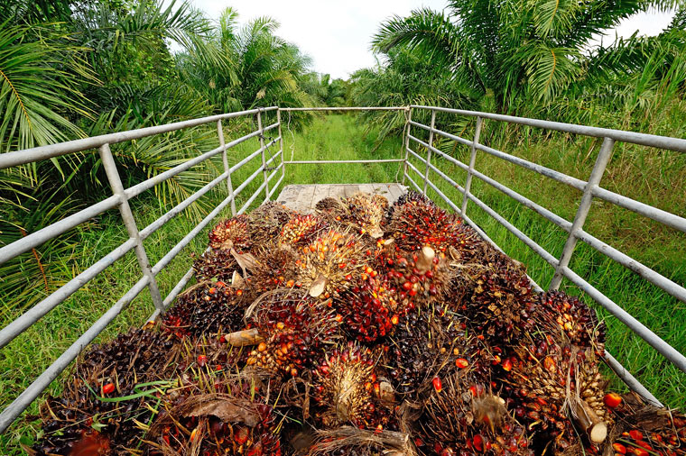 Palmöl-Plantage: Palmöl zerstört Regenwald