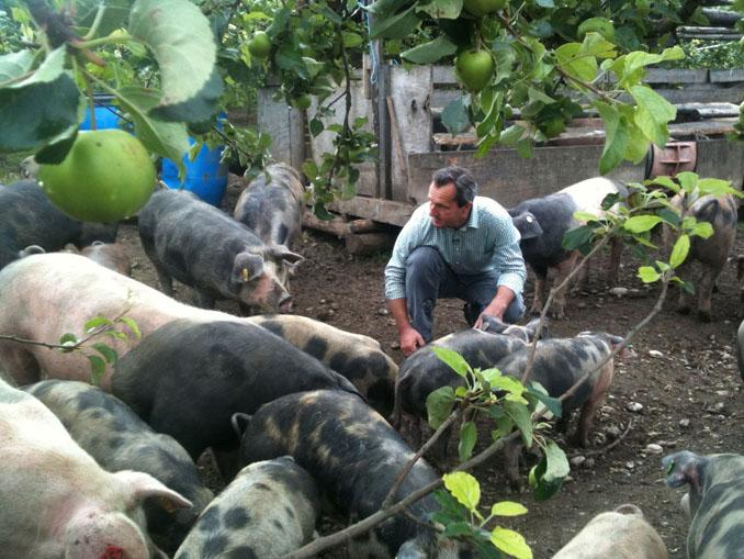 Die PERGER Obstgartenschweine