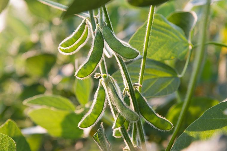 Die meisten Sojapflanzen sind genetisch verändert