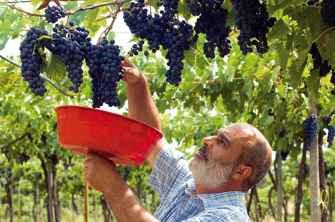Winzer Claudio Menicocci ber der Ernte © Delinat