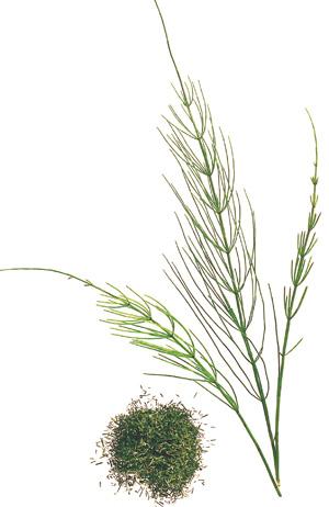 Entschlacken mit Pflanzensäften Zinnkraut
