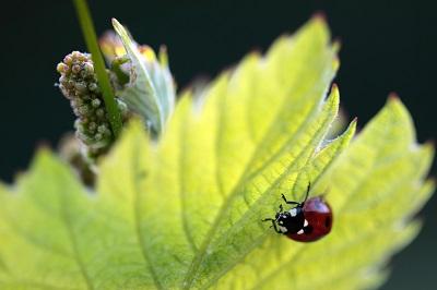 Auch Marienkäfer dürfen in den Weinbergen ungestört leben. © Delinat