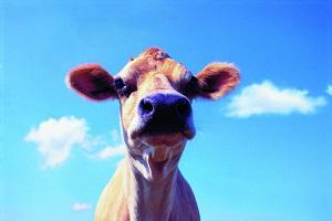 Ist diese Kuh glücklich? © Digital Vision/Digital Vision/Thinkstock