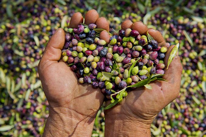 Frische Oliven nach der Ernte ©Bläuel Greek Organic products / Marc Doradzillo