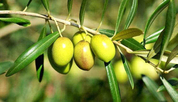 Oliven schmecken nicht allen, obwohl sie so nährreich und gesund sind ©Hemera