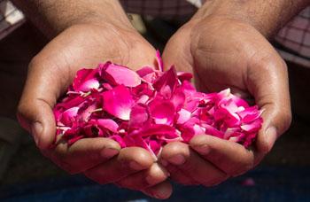 Rosenblütenblätter aus ökologischem Anbau von der Pukka-Plantage in Bulgarien.