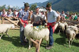 Die schönsten Schafe werden ausgezeichnet