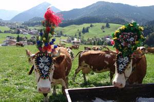 Geschmückte Kühe auf der Alm