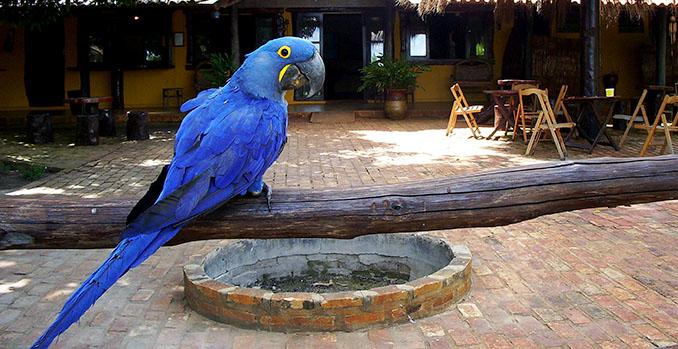 Ein Hyazinth-Ara beglückt die Besucher des © Araras Pantanal Eco Lodge