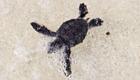 Baby-Schildkröten und Touristen teilen sich Strand