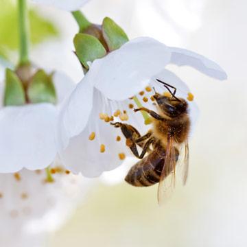 10 Schritte zum Bienenschutz im Alltag