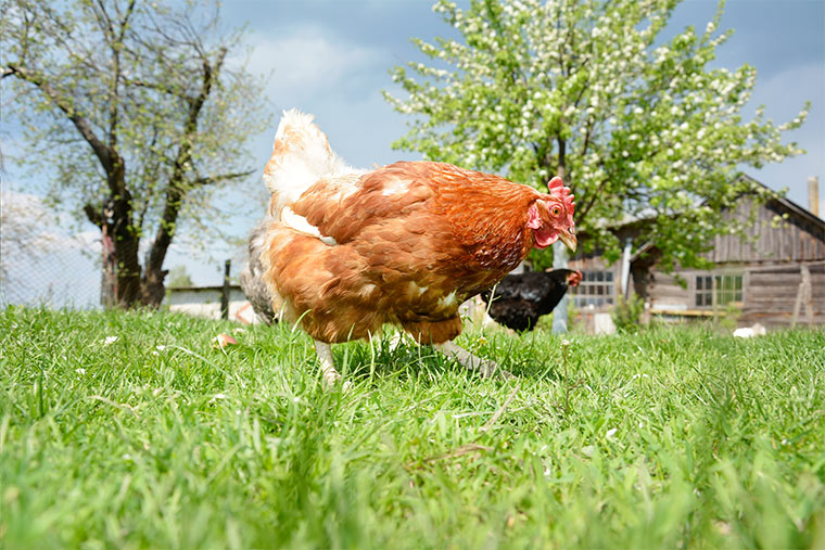 Glückliche Freilandhühner