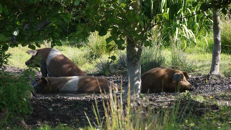 Freilandschweine