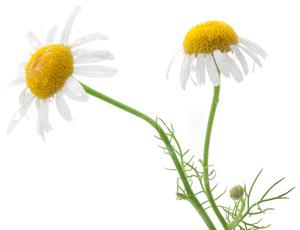 Kamillen Blüten