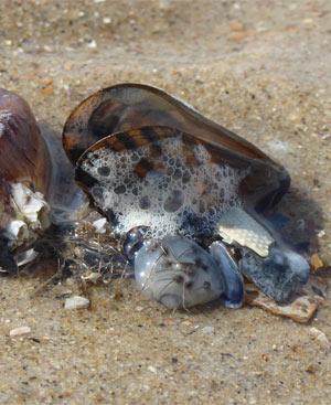 Muscheln, Seesterne und Schneckenhäuser sollten nicht mitgenommen werden