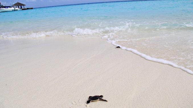 Die Schildkrötenbabys auf ihrem Weg ins Meer