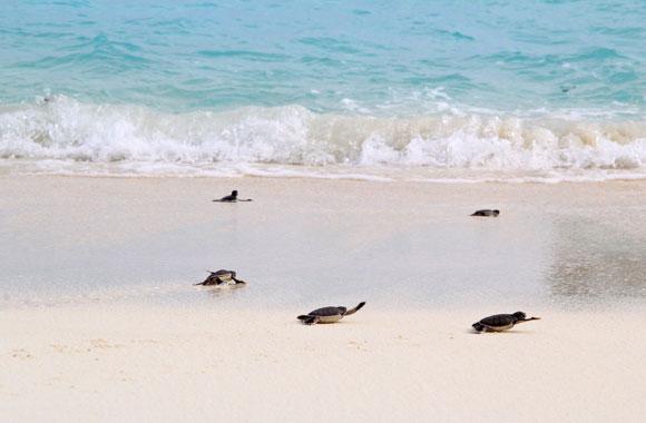 Der holprige Weg der Schildkröte ins Meer
