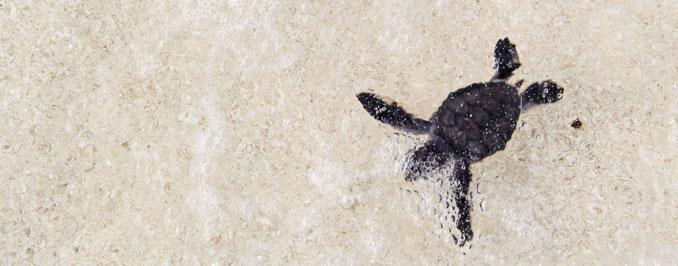 Diese kleine Schildkröte hat den Weg ins Wasser erfolgreich gemeistert