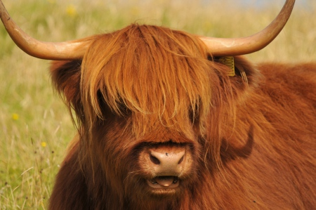 Schottland-Reise: Natur erleben wie das Highland-Cattle