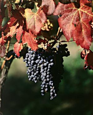 Weintrauben im südlichen Tessin