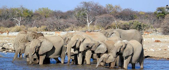 Elefanten gehören zu den sogenannten Big Five. In Afrika treten sie in Herden auf © Wikinger