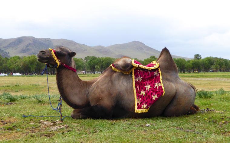 Laut PETA werden Kamele gefesselt und geschlagen, damit Touristen auf ihnen reiten können